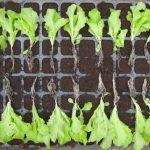 Rozsada sałaty u góry kontrola, u dołu - rośliny traktowane preparatem Goteo