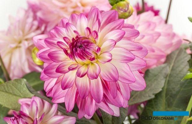 Dalię 'Sincerity', o efektownych kwiatostanach wyróżniono w tym roku nagrodą FleuroStar, fot. Fleuroselect