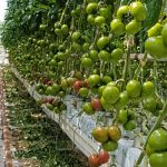 Pomidor malinowy DRTG4801