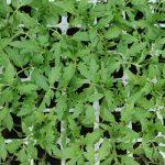 Rozsada pomidora - rośliny traktowane preparatem Goteo