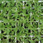 Rozsada pomidora - rośliny kontrolne