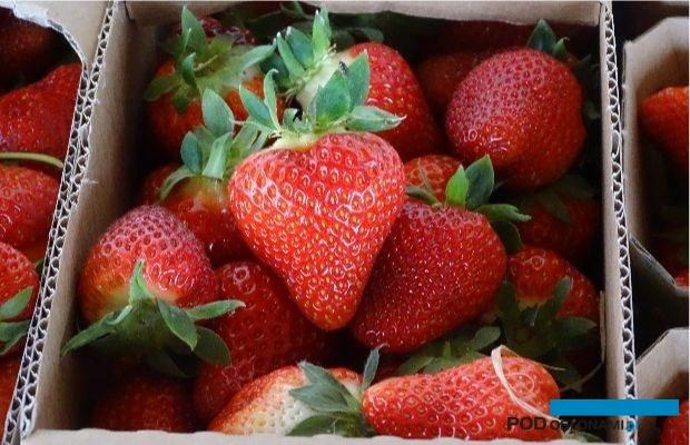 W tym sezonie obserwuje się duży popyt na polskie truskawki ze strony sieci handlowych