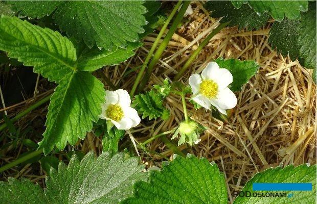 Najbardziej podatne na infekcję szarą pleśnią są otwarte kwiaty