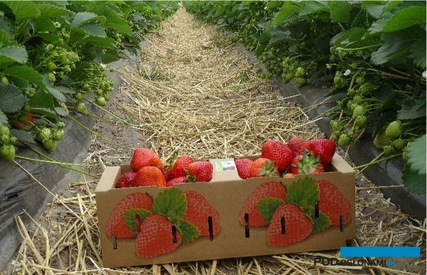 Truskawki z Gospodarstwa Rolnego Maruszewski wyróżniają się pięknym wyglądem i doskonałym smakiem