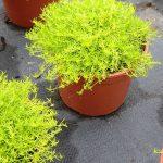 Sagina subulata Moss 'Lime'
