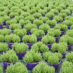 """Lawendy w misach (odmiana 'Blue Scent Early', 10 VI) – po 3 rośliny w każdej – w których powstaną kwitnące """"kule""""_gospodarstwo Meres"""