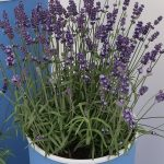 Lavandula angustifolia Aromance® Blue, fot. A. Cecot