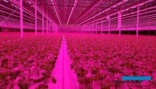 Produkcja rozsady ogórka pod lampami LED
