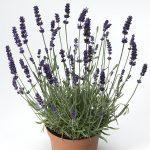 Lavandula angustifolia 'Hidcote', fot. Syngenta Flowers