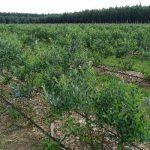 Krzewy na plantacji były obsypane owocami