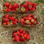 Producenci oceniali jakość i smak owoców kilku nowych odmian