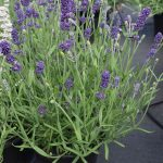 Lavandula angustifolia Aromatico® Blue Improved, fot. A. Cecot