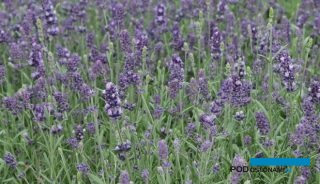 Lavandula angustifolia Aromatico Early Blue_AC
