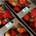 Plantatorzy dbają o najwyższą jakość oferowanych truskawek