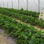 W maju zbierano już handlowe ilości owoców