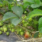 W celu uzyskania jak najwyższej jakości owoców rośliny są dokarmiane dolistnie wapniem i krzemem