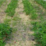 Już w pierwszym roku testów obserwowano wyraźne różnice we wzroście roślin