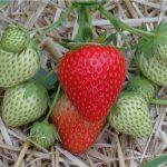 Produkowane w gospodarstwie owoce mają jakość premium