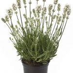Lavandula angustifolia Aromance® White, fot. Beekenkamp