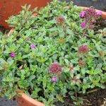 Thymus praecox 'Creeping Red', fot. A. Cecot