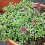 Thymus praecox 'Creeping Red', fot. A. Cecot