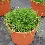Sagina subulata Moss 'Green'