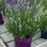 Lavandula angustifolia_BeeZee_Light-Blue_White_fot._A. Cecot