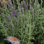 Lavandula angustifolia 'Ellagance Purple' , fot. A Cecot