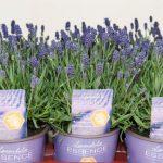 Lavandula-angustifolia-Essence-Purple_fot._Florensis