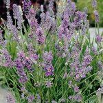 Lavandula-angustifolia_Ellagance-Sky_fot._Fleuroselect