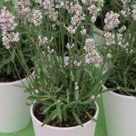 Lavandula angustifolia Aromance® Pink, fot. A. Cecot