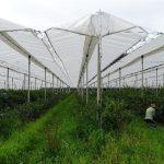 Foliowe daszki umożliwiają zbiory nawet podczas deszczowej pogody