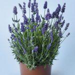 Lavandula angustifolia Lavanto Purple, fot. Volmary