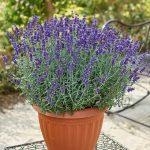 Lavandula angustifolia_Vienco® Purple, fot. Volmary