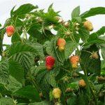 Początek owocowania odmiany 'Enrosadira'