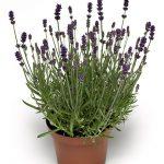 Lavandula angustifolia_Vintro® Compact Iris; fot. Syngenta Flowers