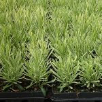 Lawenda wąskolistna (Lavandula angustifolia) Platinum Blonde,