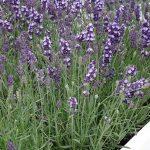 Lawenda wąskolistna (Lavandula angustifolia) Vintro® Blue