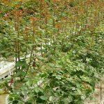 """Nowe nasadzenie - krzewy róż z już przygiętymi pędami i rozbudowującą się """"fabryką asymilatów""""_Gospodarstwo_Aneta-Haba"""