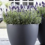 Lavandula-angustifolia-Valence-Dark-Violet_fot. Florensis