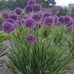 Allium hybrida 'Lavender Bubbles'