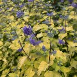 Caryopteris incana SUNNY BLUE