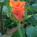 Róża_Belinda
