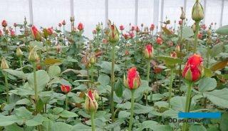 Plantacja róż szklarniowych (tu: odmiana España) w gospodarstwie Anety Haby - lato 2020 r., fot. A. Cecot