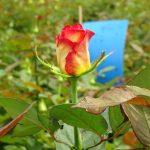 Roża Applause