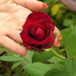 Roza_Grande Amore