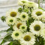 Echinacea hybrida SUNSEEKERS WHITE PERFECTION
