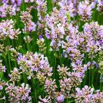 Lavandula-angustifolia 'Rosea'_fot. Florensis