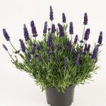 Lavandula-angustifolia-'Spear Blue' - cała roślina, fot. Florensis