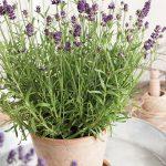 Lavandula-angustifolia-Valence-Dark-Violet__fot. Florensis
